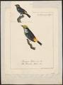 Tangara tatao - 1700-1880 - Print - Iconographia Zoologica - Special Collections University of Amsterdam - UBA01 IZ15900287.tif