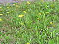 Taraxacum officinale 2 (5097397973).jpg