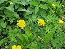 http://upload.wikimedia.org/wikipedia/commons/thumb/1/10/Taraxacum_yatsugatakense_02.jpg/220px-Taraxacum_yatsugatakense_02.jpg