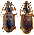 Taridius ornatus and Taridius piceus - ZooKeys-244-067-g002.jpeg