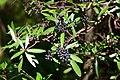 Tasmannia lanceolata (17250138588).jpg