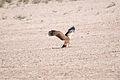 Tawny Eagle Kgalagadi Transfrontier Park.jpg