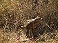 Tawny eagle Aquila rapax in Tanzania 3622 Nevit.jpg