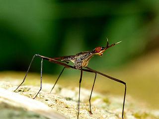 Neriidae Family of flies