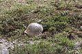 Testudo graeca - Mediterranean Spur-thighed Tortoise 01-1.jpg