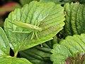 Tettigonia viridissima 01.JPG