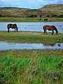 Texel - Pompevlak - View NE on Wild Horses I.jpg
