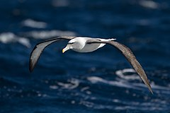 Thalassarche cauta in flight 2 - SE Tasmania.jpg