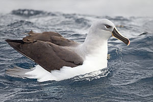 Grey-headed albatross - Image: Thalassarche chrysostoma SE Tasmania