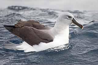 Grey-headed albatross large seabird from the albatross family