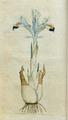 The Botanical Magazine, Plate 1 (Volume 1, 1787) corrected.png