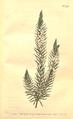 The Botanical Magazine, Plate 440 (Volume 13, 1799).png