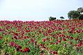 The Flower Fields at Carlsbad Ranch 83 2014-04-28.jpg
