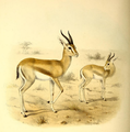 The book of antelopes (1894) Gazella pelzelni.png