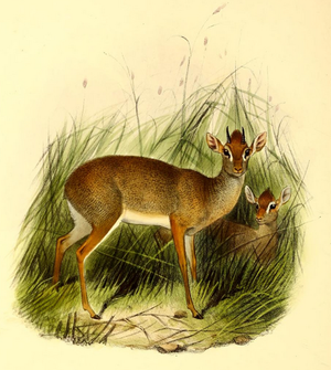 The book of antelopes (1894) Madoqua saltiana.png