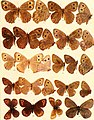 The butterflies of the West Coast of the United States - with colored figures and descriptions of many new species and new varieties now first published (1906, c1905) (20502236252).jpg