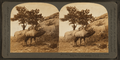 The whistling elk whose weird, flute-like cry echoes from hill to hill, Montana, U.S.A, by Keystone View Company 2.png