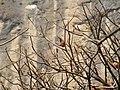 Thick-billed Flowerpecker Dicaeum agile nest by Raju Kasambe 01.jpg
