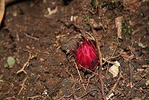Thonningia sanguinea am Kamerunberg, Kamerun