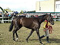 Thoroughbred 1.jpg
