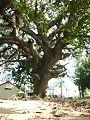 Thousand year old tree........jpg