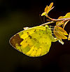 Three-spot Grass Yellow Eurema blanda amjith.jpg