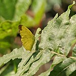 Three-spot Grass yellow (Eurema blanda) at Narendrapur W IMG 4181.jpg