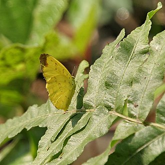 Eurema blanda - Image: Three spot Grass yellow (Eurema blanda) at Narendrapur W IMG 4181