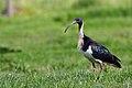 Threskiornis spinicollis -Cranbourne, Melbourne, Australia-8.jpg