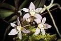 Thrixspermum saruwatarii (Hayata) Schltr., Repert. Spec. Nov. Regni Veg. Beih. 4 275 (1919) (45926391984).jpg