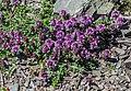 Thymus serpyllum at Col de Tavaneuse (2).jpg
