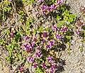 Thymus serpyllum in PNR Pyrenees ariegeoises.jpg