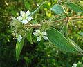 Tibouchina longifolia, the Longleaf Glorybush (9976345804).jpg