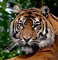 Tiger Face (10971343685).jpg