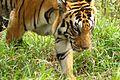 Tiger at Rajiv Gandhi Zoological Park Pune.jpg