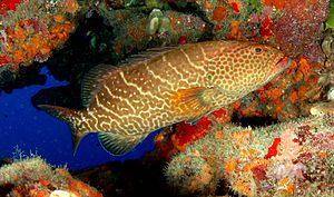 Tiger grouper - Image: Tiger grouper