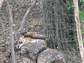 Tigers at Bannerghatta National Park 4-24-2011 12-19-09 PM.JPG
