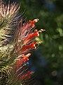 Tillandsia funkiana (Scott Zona) 001.jpg