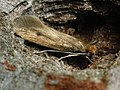 Tinea ?pellionella - Case-bearing clothes moth - Моль шубная (40359596235).jpg