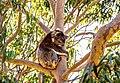 Tired Koala.jpg