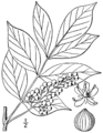 Toxicodendron vernix BB-1913.png