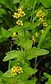 Tozzia alpina 2 RF.jpg