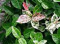Trachelospermum asiaticum cv1.jpg