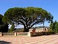 Tree on UCLA campus.jpg