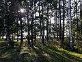 Trees at the north shore of Ungurs.jpg