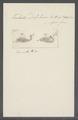 Trichoda delphinus - - Print - Iconographia Zoologica - Special Collections University of Amsterdam - UBAINV0274 113 15 0056.tif