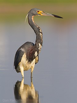 Tricolored Heron by Dan Pancamo.jpg
