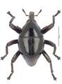 Trigonopterus sculptirostris (Lea), lectotype.tif
