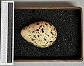 Tringa glareola MWNH 208.JPG