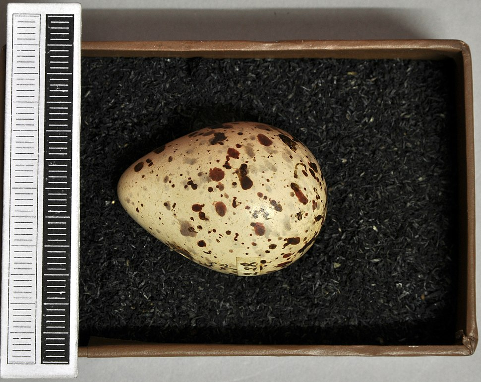 Tringa glareola MWNH 208